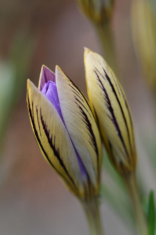 Crocus imperati subsp. imperati ' De Jager '