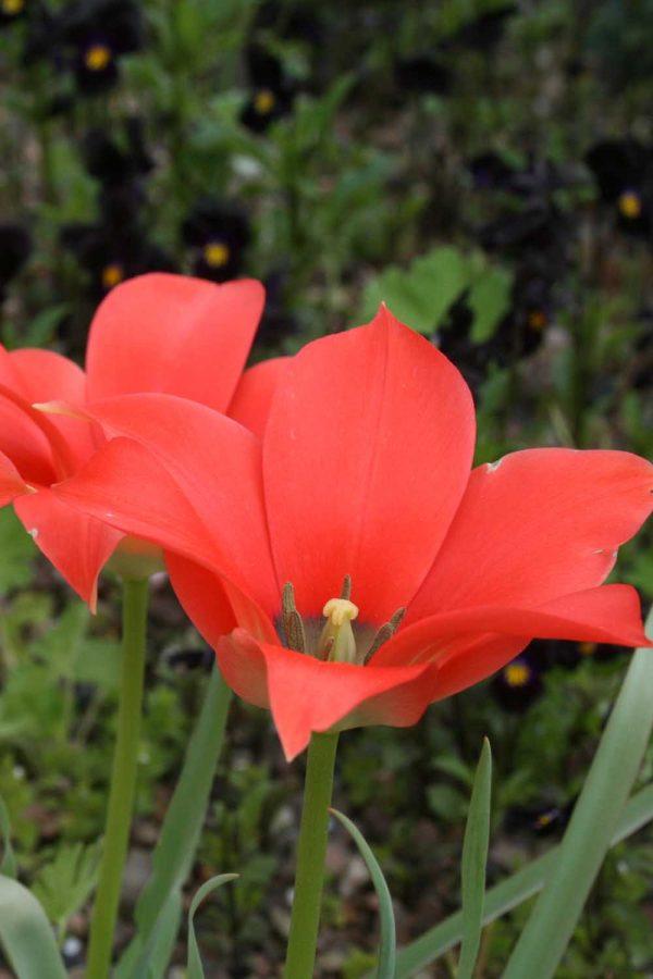 Tulipa batalinii ' Salmon Gem '