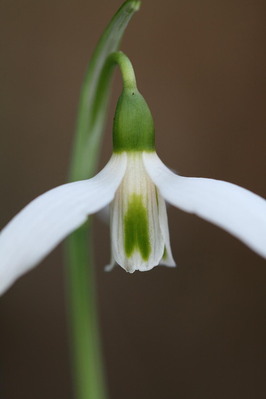 Galanthus elwesii var. monostictus ' J. Haydn '