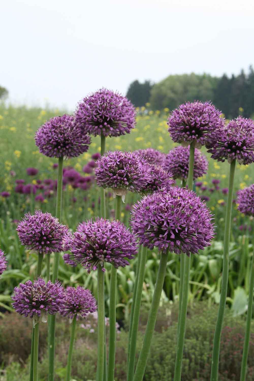 Allium ' Statos '