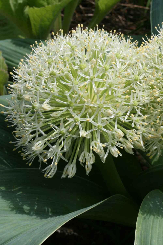 Allium karataviense ' Ivory Queen '