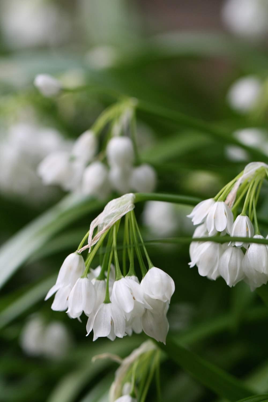 Allium paradoxum ' Talish '