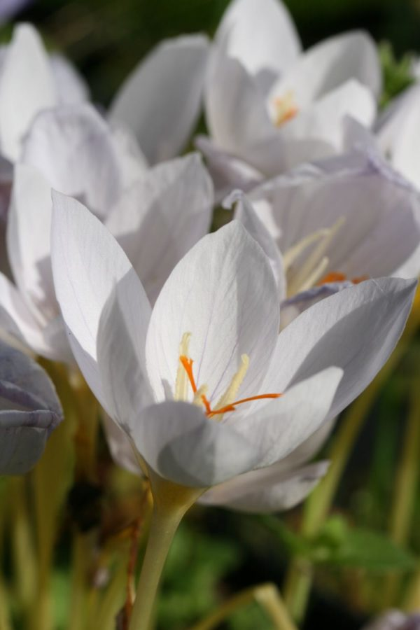 Crocus pulchellus ' Zephyr '
