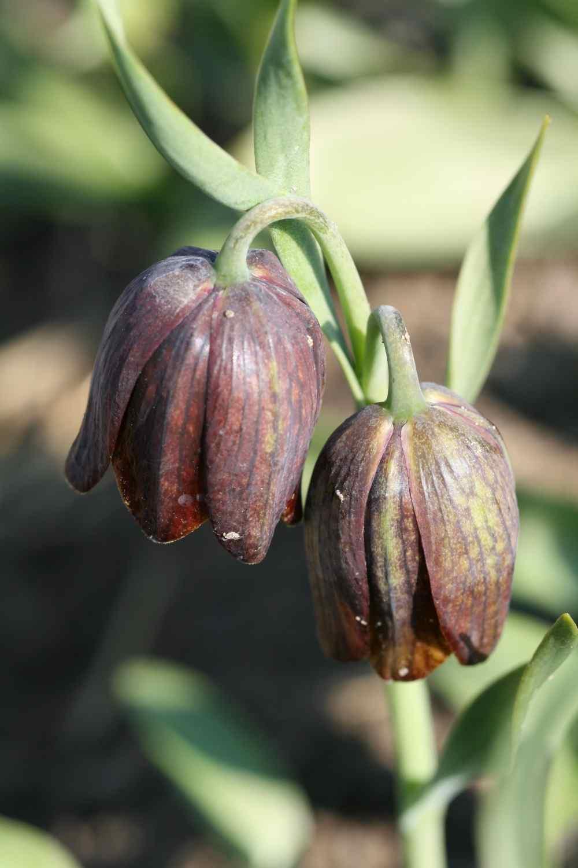 Fritillaria davisii