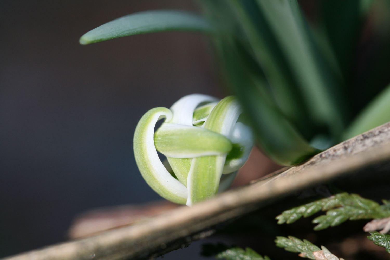 Hier liegt Galanthus nivalis ' Octopussy ' auf der Lauer.