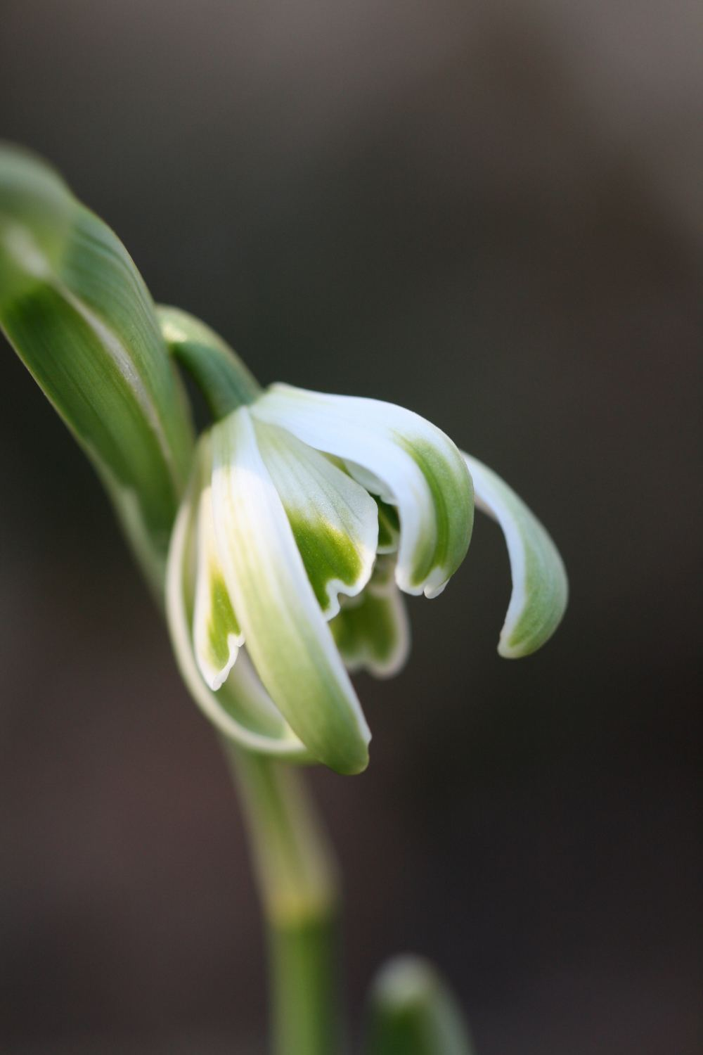 Galanthus nivalis ' Octopussy '