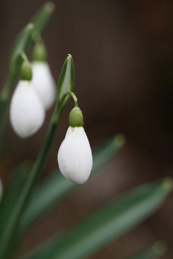 Galanthus plicatus ' Diggory