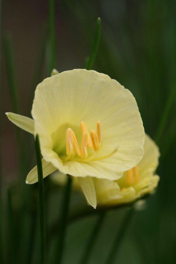 Narcissus ' Julia Jane '