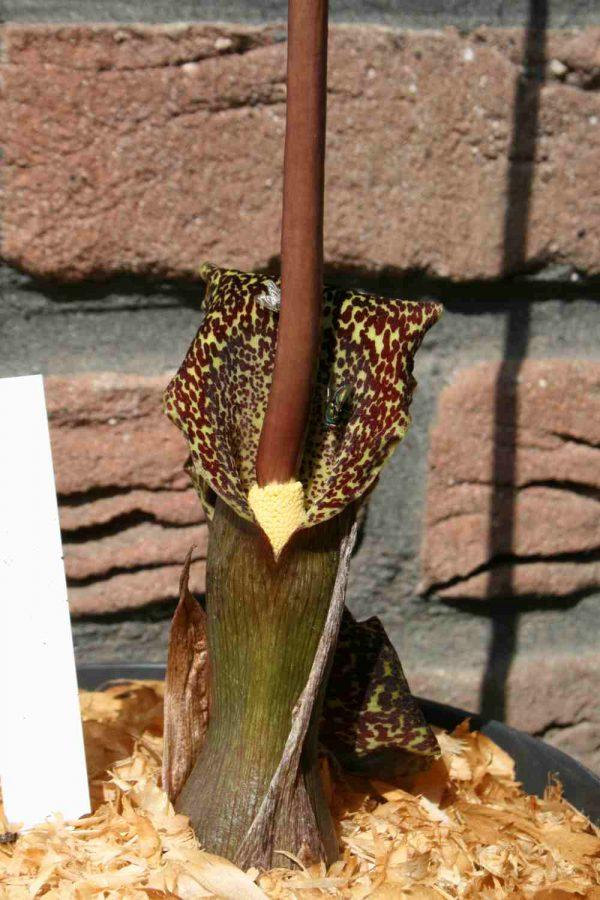 Typhonium gaoligongensis