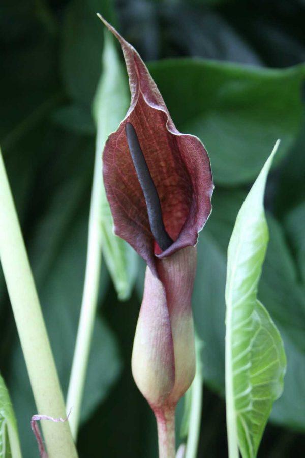 Typhonium giganteum