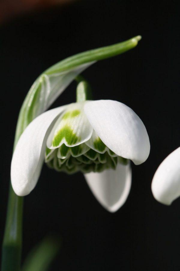 Galanthus ' Ailwyn '