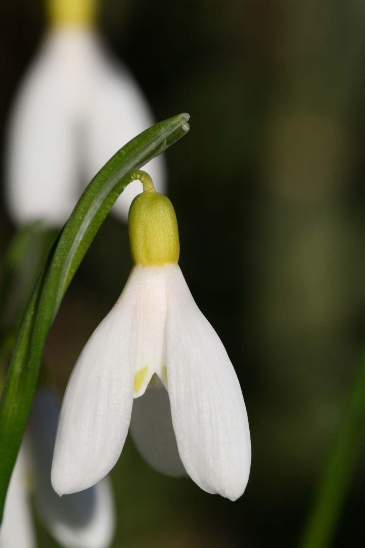 Galanthus woronowii ' Elisabeth Harrison '