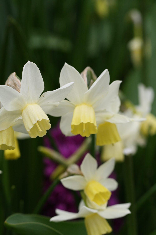 Narcissus ' Sailboat '