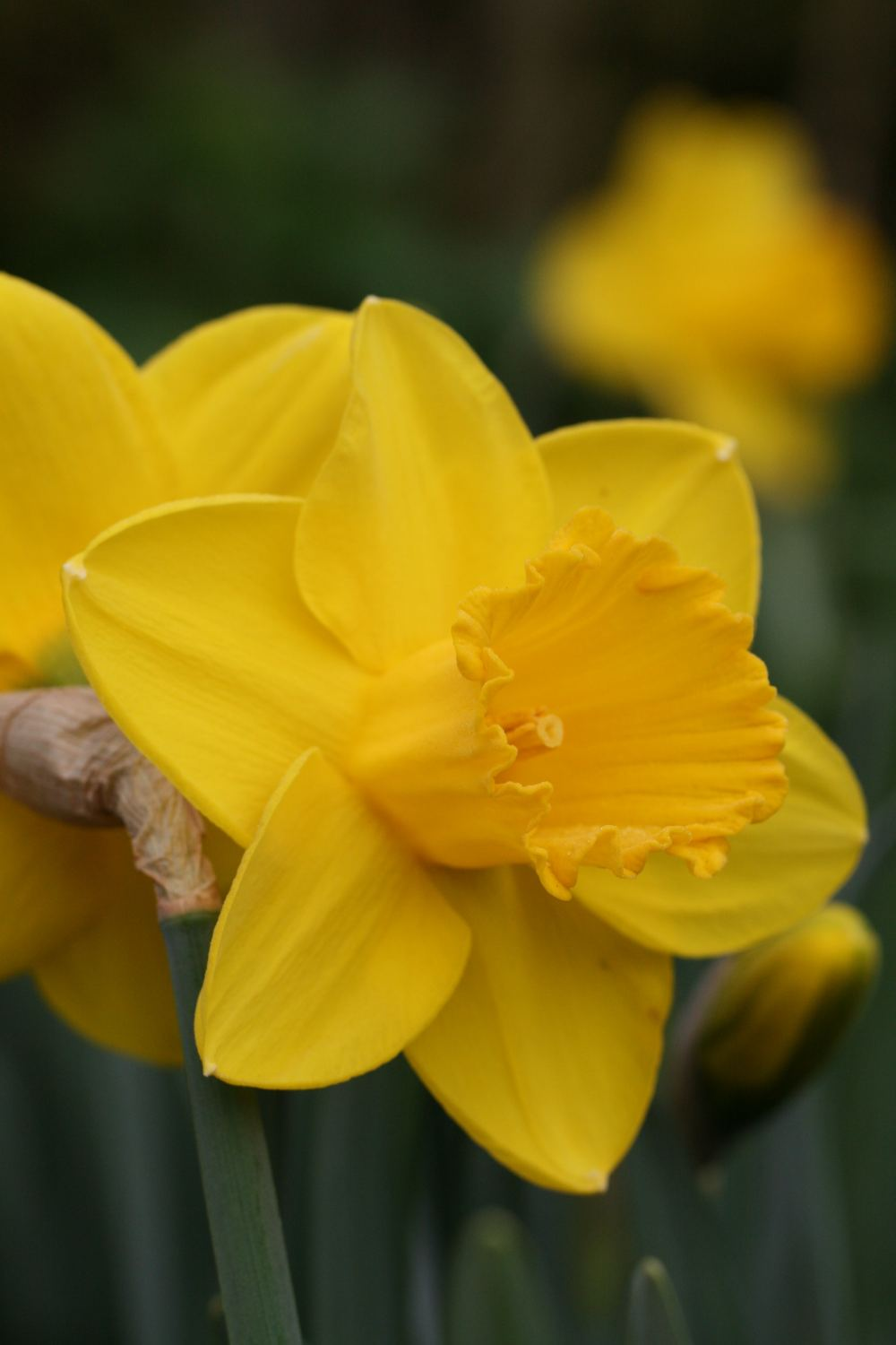Narcissus ' Strong Gold '