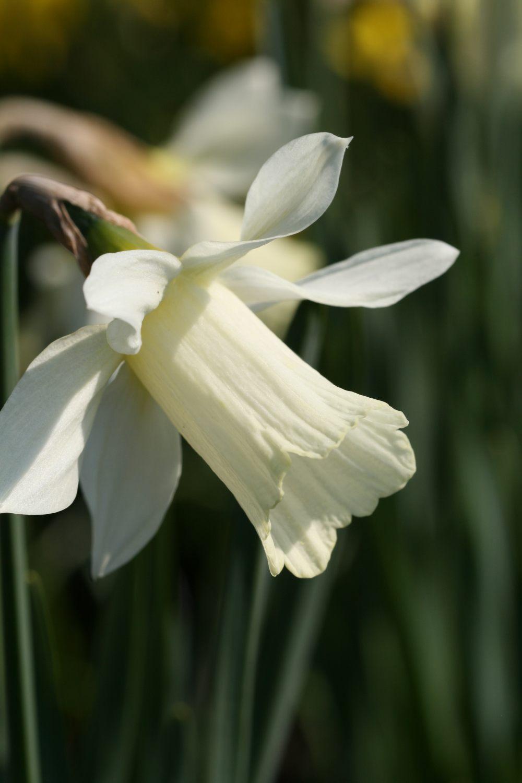 Narcissus moschatus