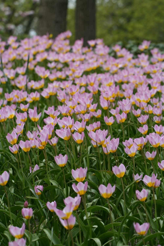 Tulipa bakeri ' Lilac Wonder '