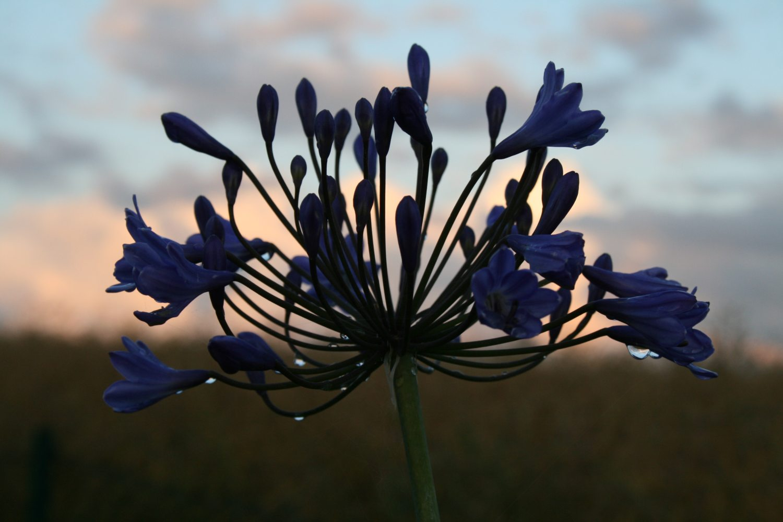 Agapanthus 'Blaue Wolke'