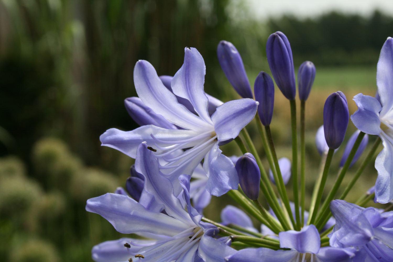 Agapanthus 'Blue Heaven'
