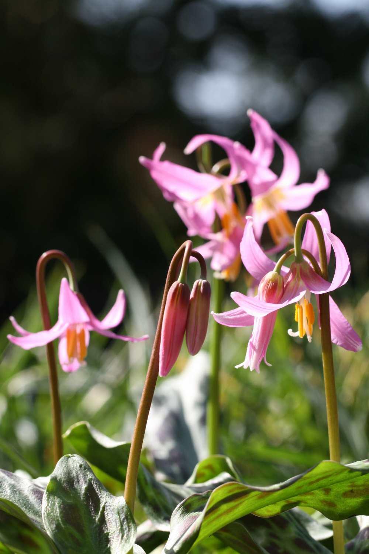 Erythronium revolutum 'Knightshayes Pink'