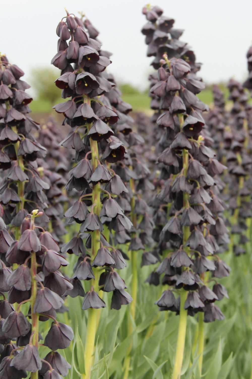 Fritillaria persica 'Twin Tower Tribute'