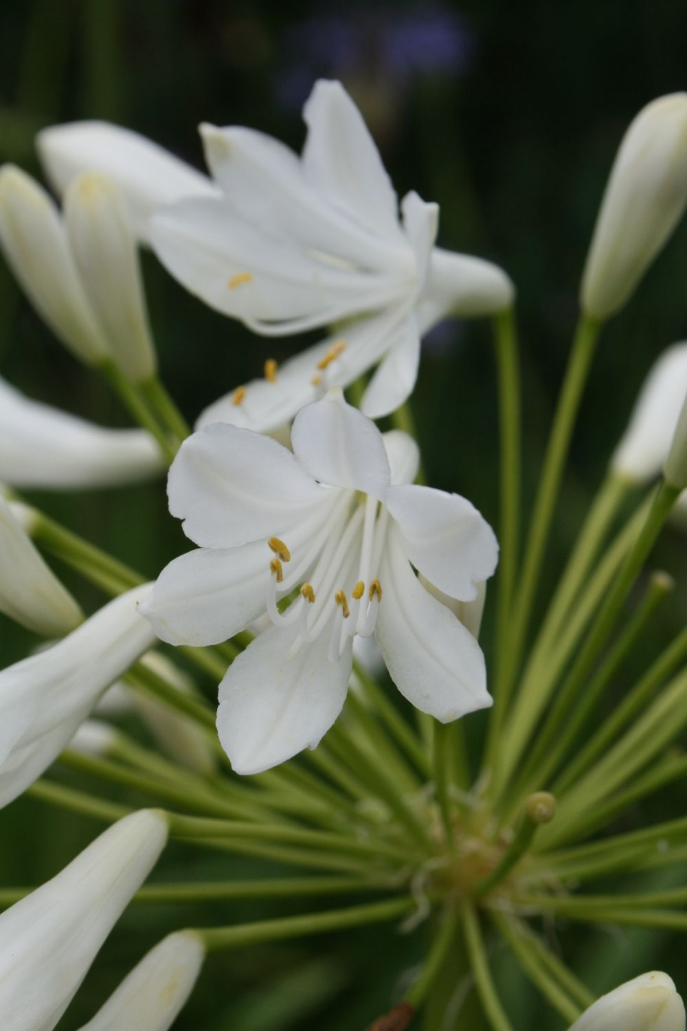 Agapanthus 'Ice Lolly'