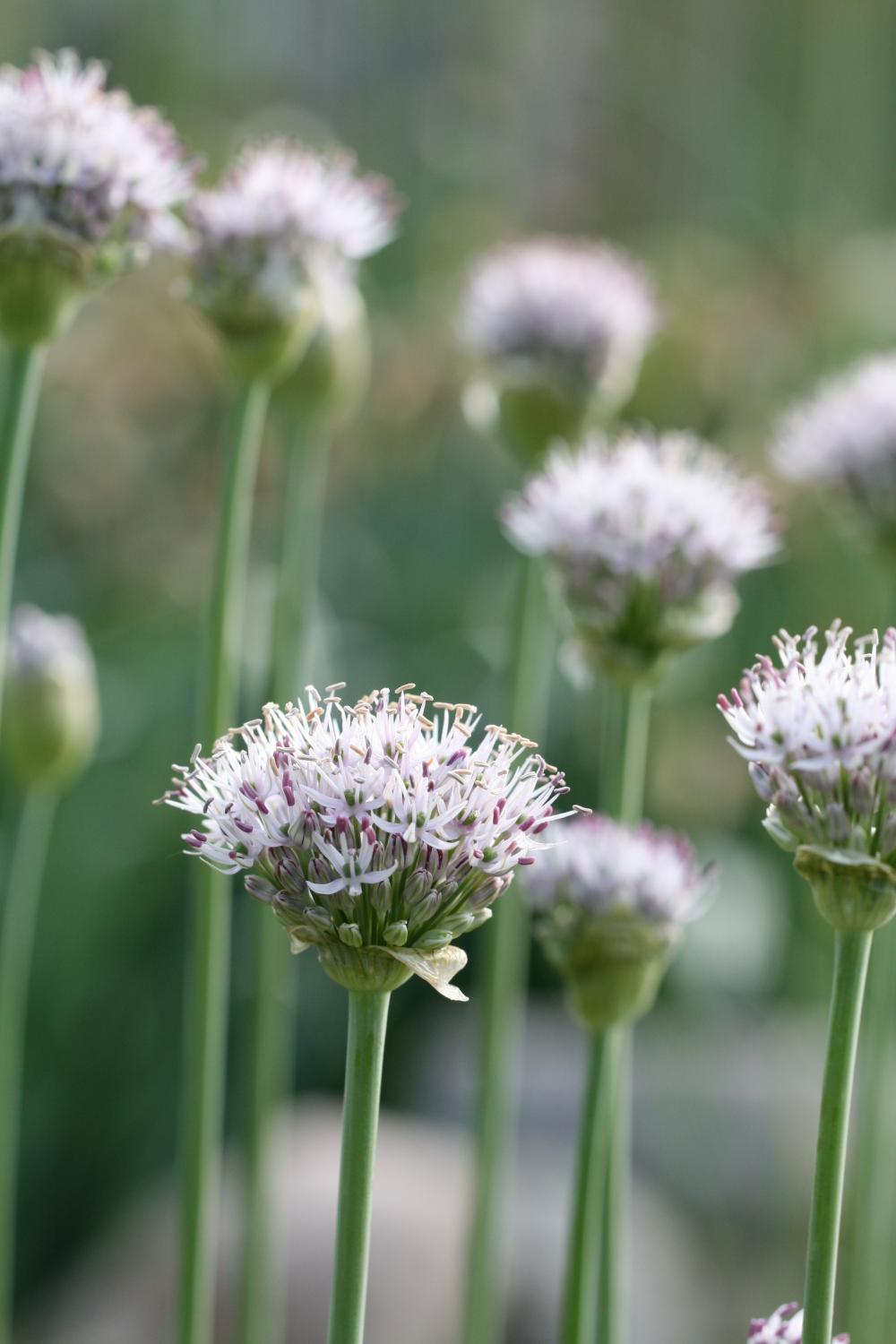 Allium hollandicum 'Album'