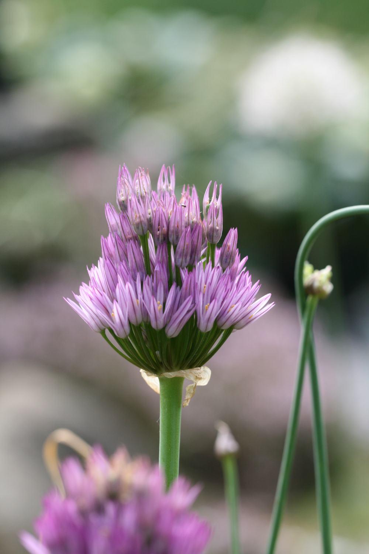 Allium lipskyanum