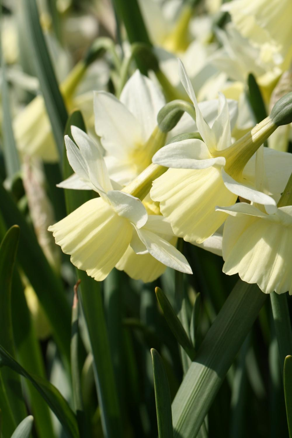 Narcissus ' Dutch Lemon Drops '
