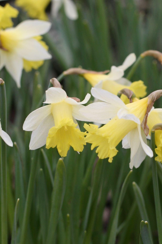 Narcissus ' Topolino '