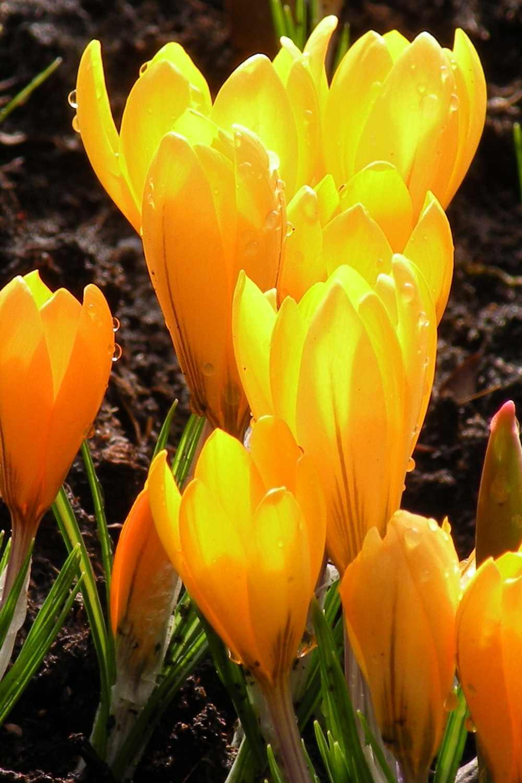Crocus chrysanthus ' Dorothy '