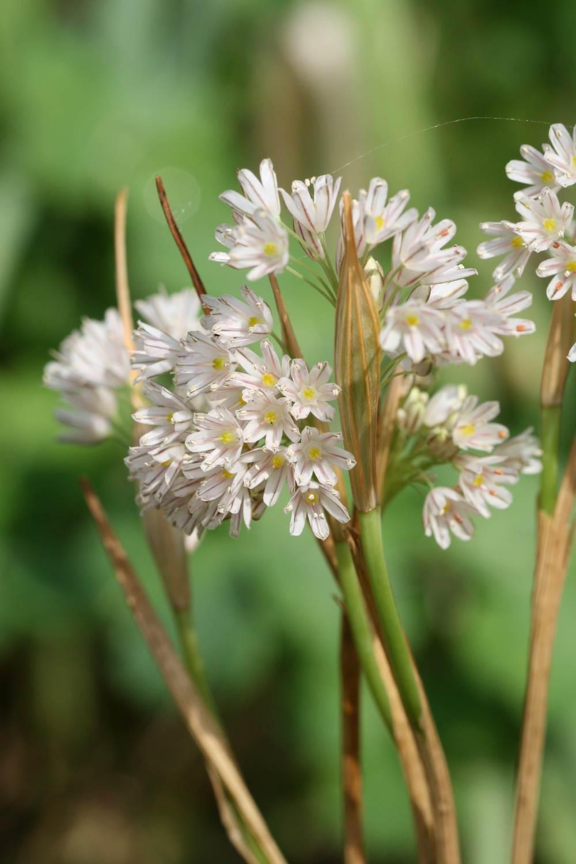 Allium callimischon ssp. callimischon