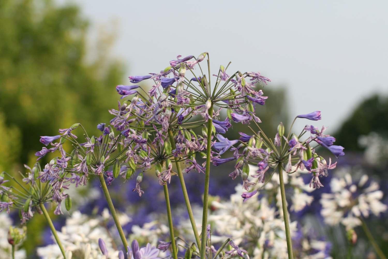 Auch die schönen hohen Blütenstände unserer Sorte Agapanthus Blaue Wolke zeigen sich im Übergang von ihrer schönsten Seite