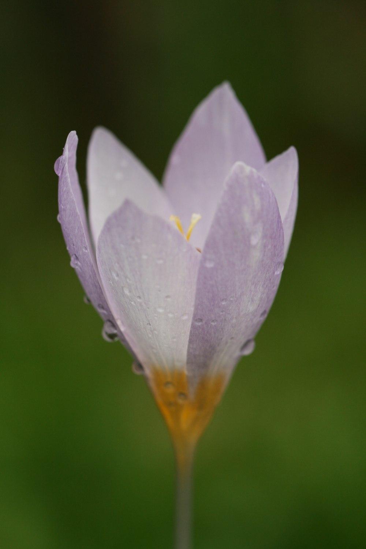 Crocus caspius