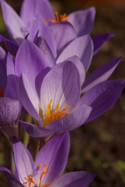 Crocus speciosus subsp. speciosus