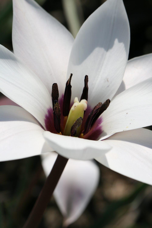 Tulipa clusiana 'Peppermintstick'