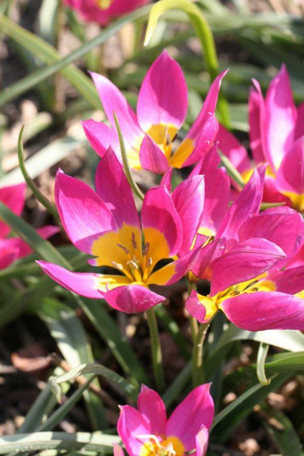 Tulipa humilis 'Eastern Star'