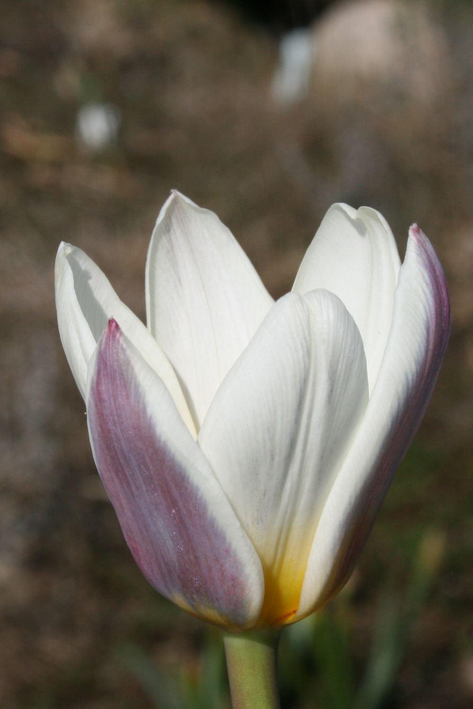 Tulipa kaufmania 'Ice Stick'