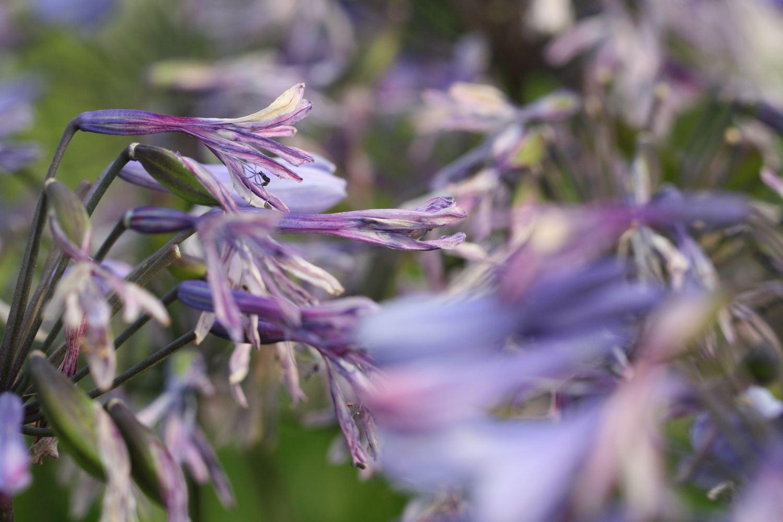 Blue Triumphator zeigt im Abblühen die verschiedensten Blau und Violett Farbtöne