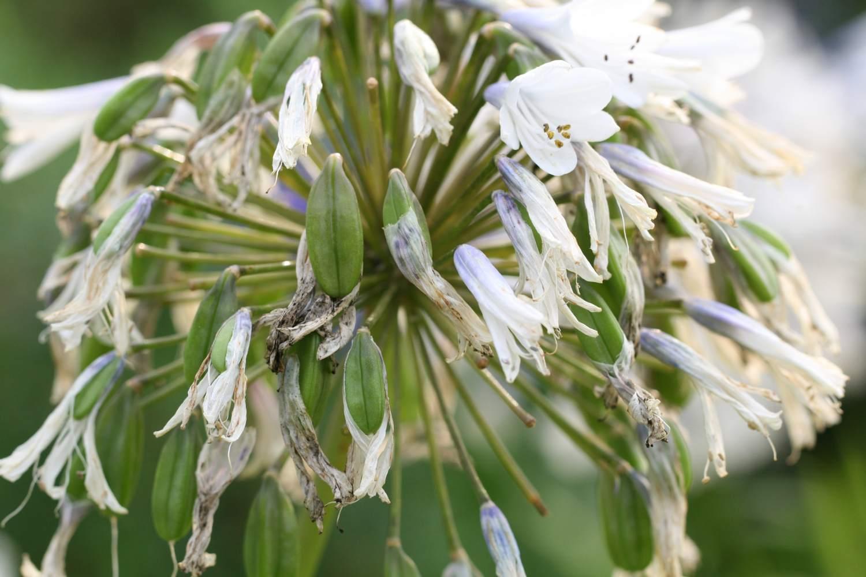 Die Blüten von Enigma halten die Zweifarbigkeit leider nur sehr kurz
