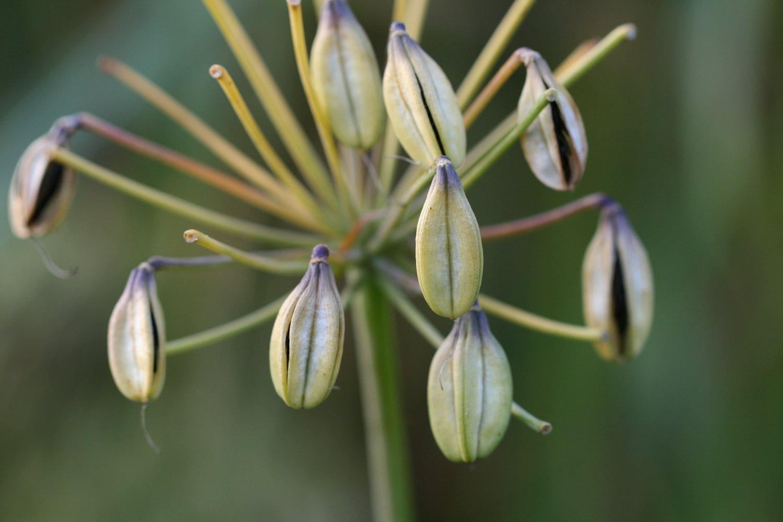 Agapanthus 'Liam's Lilac '