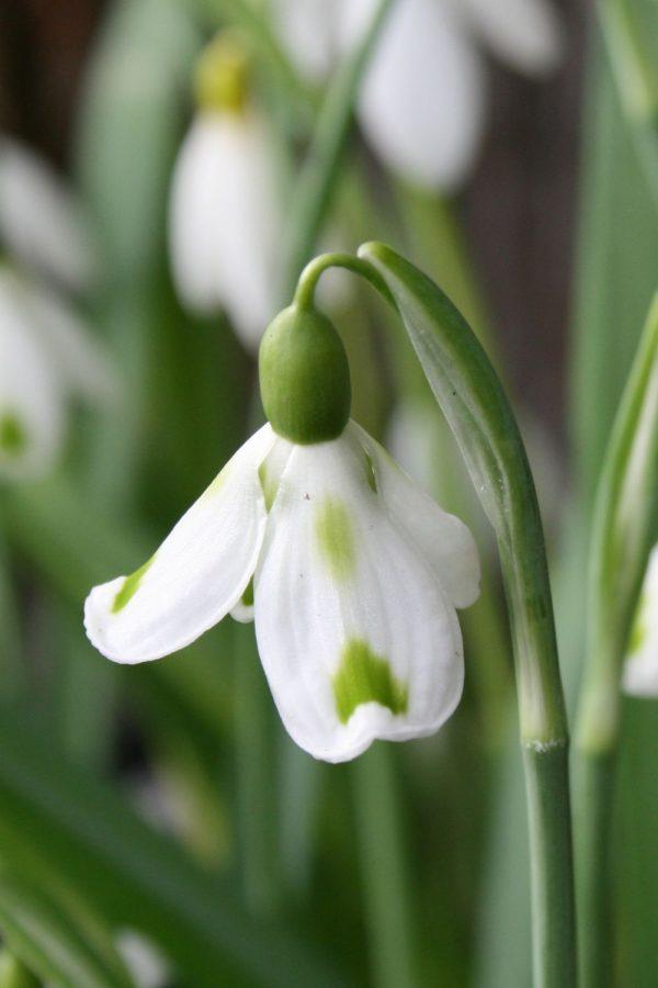 Galanthus plicatus 'Trimmer'