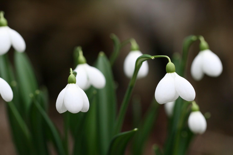 Die Sorte Galanthus ' Little Dorrit ' begeistert den Betrachter durch ihre rundliche Blütenform.