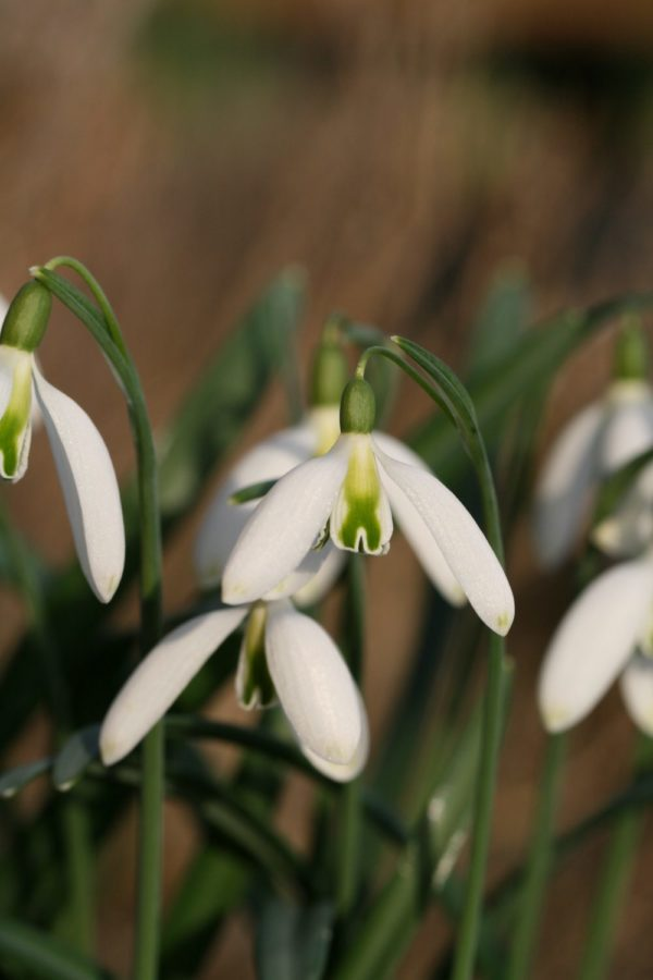 Galanthus 'Curly'
