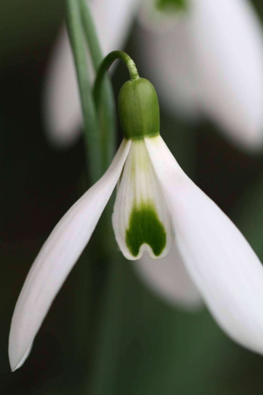 Galanthus 'Terry Jones'