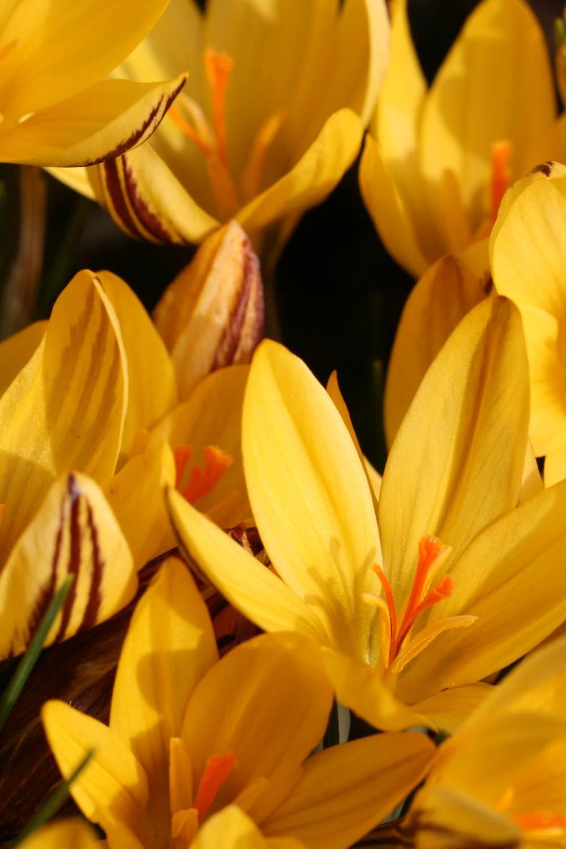 Crocus chrysanthus 'Fuscotinctus'