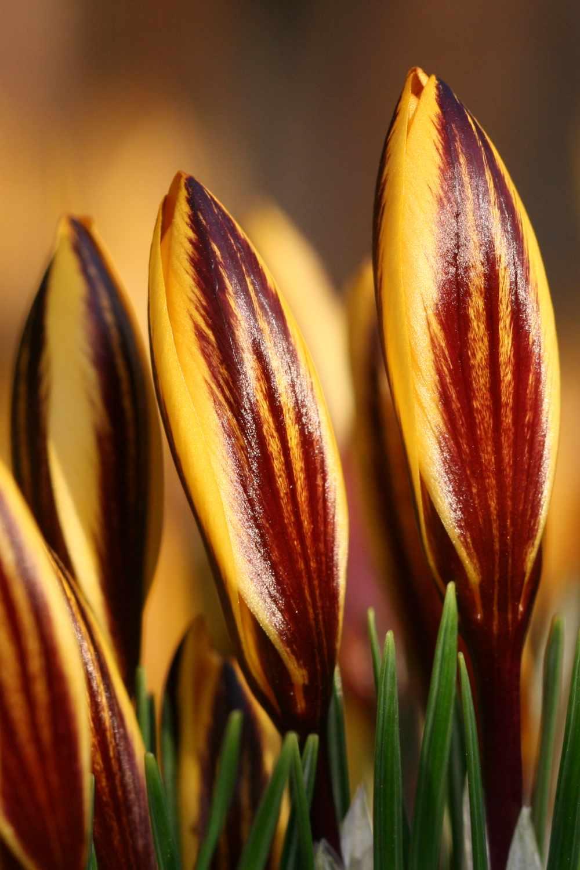 Crocus x leonidii 'Early Gold'