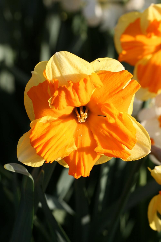Narcissus 'Centannees'