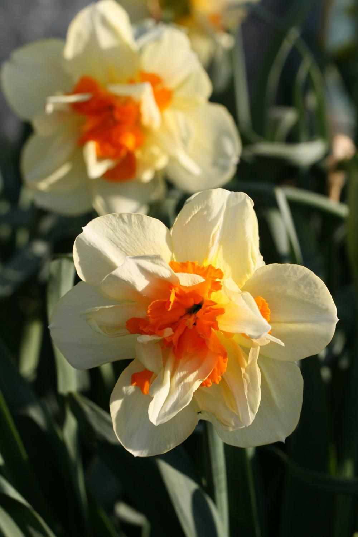 Narcissus 'Insulinde'