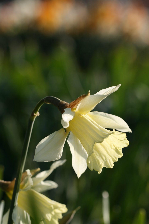 Narcissus 'W.P. Milner'