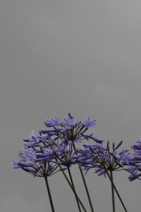 Agapanthus 'Blue Triumphator'
